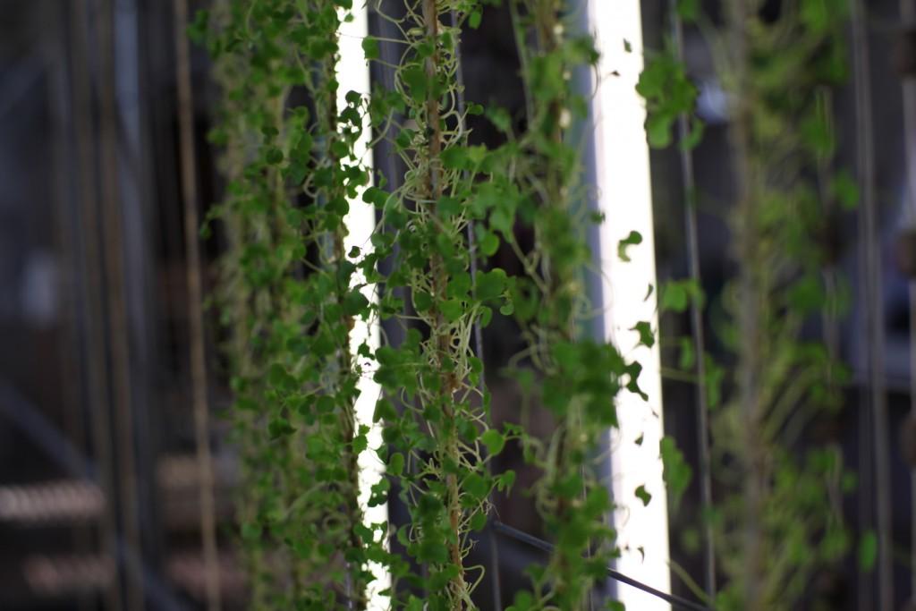 ältere Pflanzen an Schnur Kopie