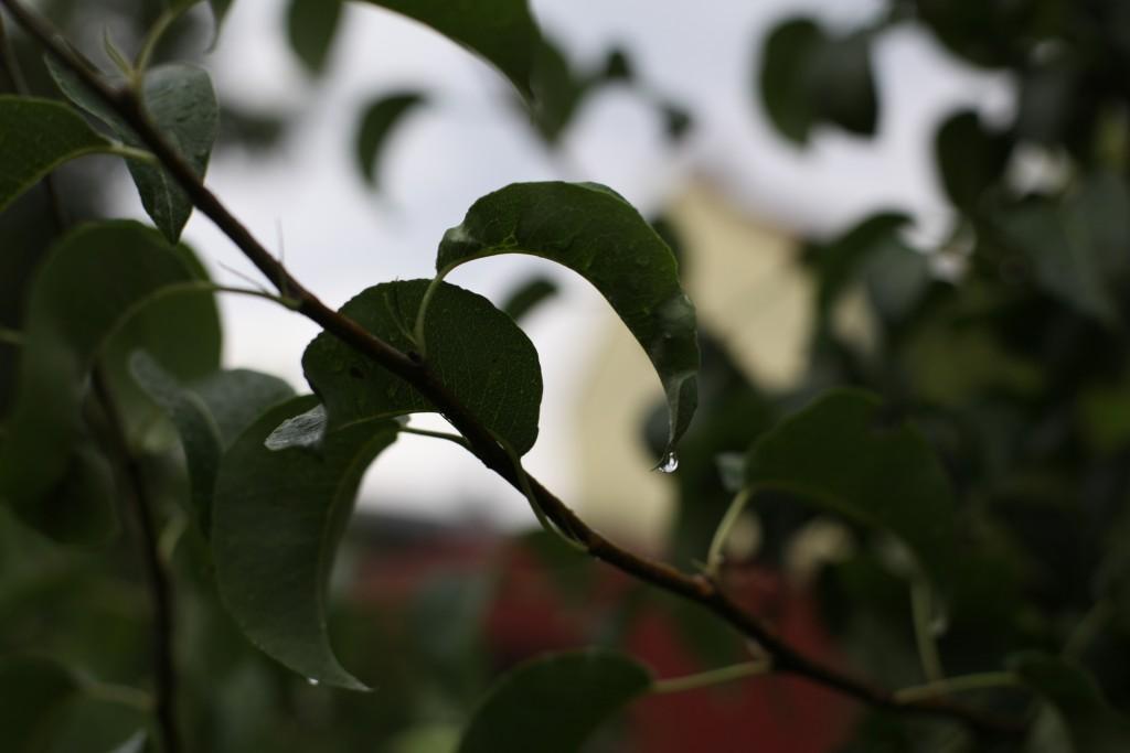 Birnbaum Gräfin von Paris - noch trägt er keine Früchte, aber schon Regentropfen