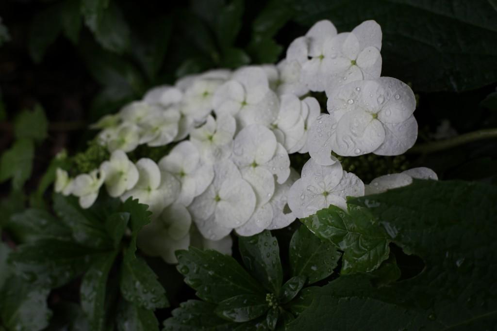 Eichenblättrige Hortensie - (Hydrangea quercifolia)