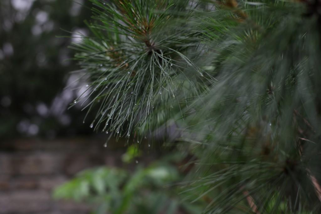 Pechkiefer (Pinus rigida)