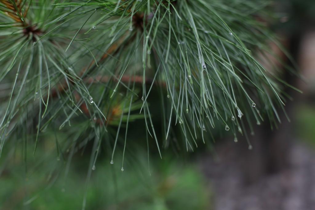 Pechkiefer (Pinus rigida) -